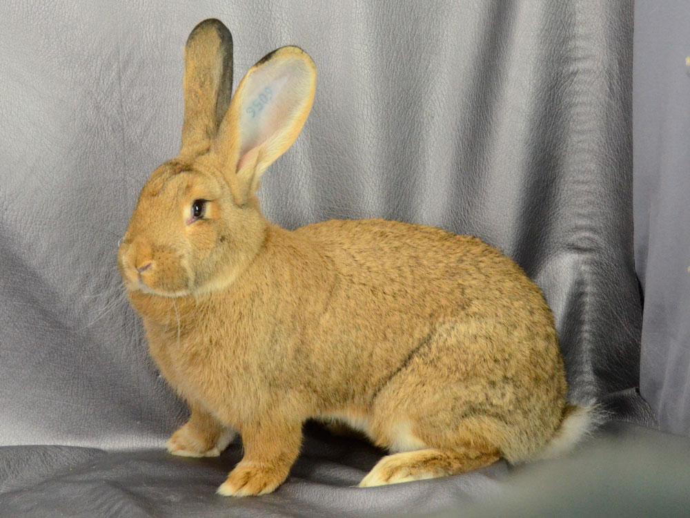 Conejo Gigante Español